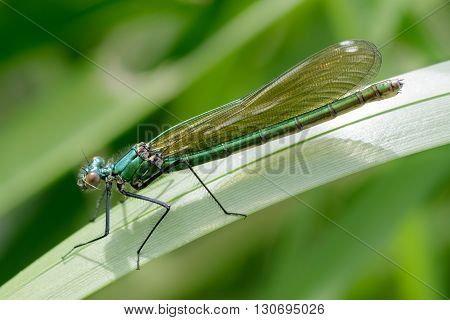Female Banded Demoiselle (Calopteryx splendens) perched on a reed