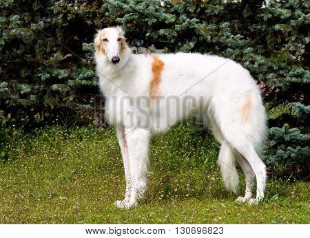 Borzoi Russian white. The Borzoi Russian dog is on the green grass.
