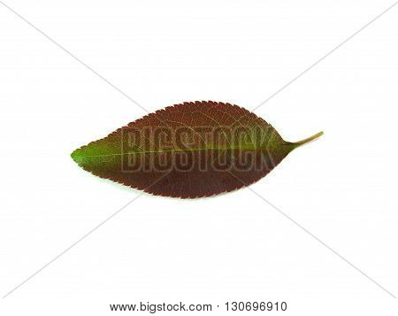 red and green leaf of quince on white
