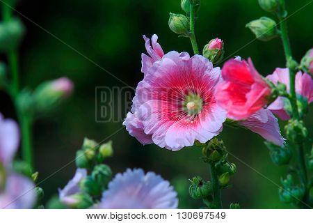 Pink malva blossoms in the garden. Malva (mallow) is widely grown as garden flowers.