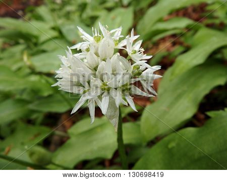 the delicate white flowers of Allium ursinum or more commonly known as wild garlic