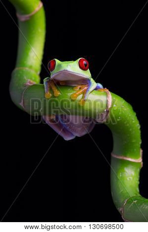 Red-Eyed Amazon Tree Frog (Agalychnis Callidryas) on twisted piece of bamboo