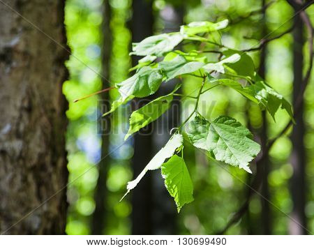 Green Leaves Of Hazel Tree Close Up In Forest