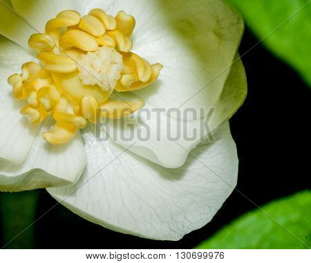 A macro closeup shot of a Mayapple Blossom