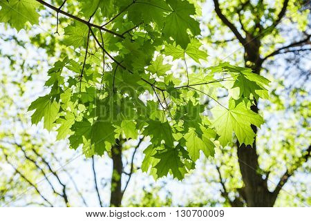 Twig Of Maple Tree With Green Leaves In Forest