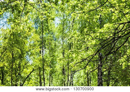 Oak Twigs And Birch Trees On Background In Forest