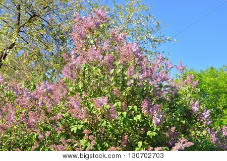 Beautiful lilac flowers in the spring garden.