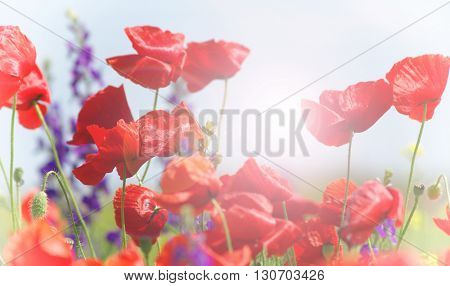 red poppy and wild flowers