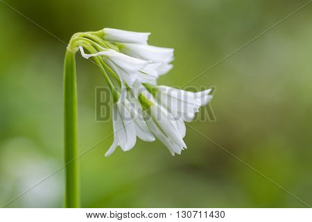Three-cornered garlic (Allium triquetrum) in flower from side. Drooping bell-shaped flowers of plant in the family Amaryllidaceae seen in profile