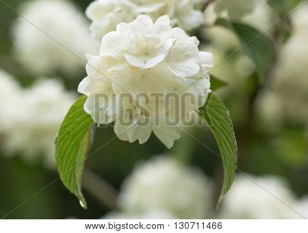 Japanese snowball bush, Viburnum plicatum f. tomentosum 'Sterile'. White lacecap-like flowers of shrub in family Adoxaceae