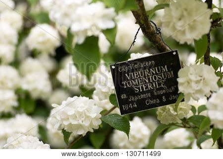 Japanese snowball bush, Viburnum plicatum f. tomentosum 'Sterile' with sign. White lacecap-like flowers of shrub in family Adoxaceae surrounding sign with old taxonomic name and placement