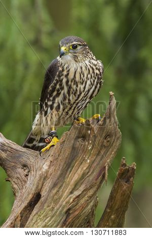 A Female Merlin standing on a stump