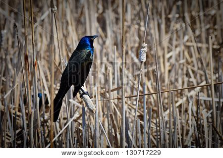 A Common Grackle bird in the wetland