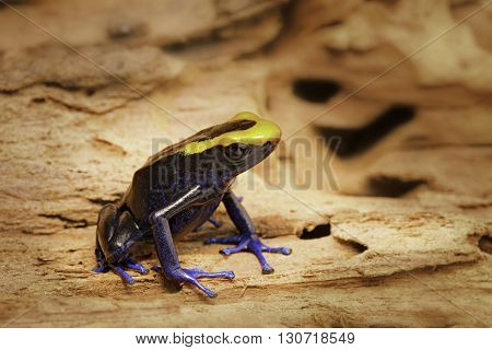 Dyeing dart frog, tinc or dendrobates tinctorius lorenzo is a poisonous poison arrow frog from the amazon rain forest in Brazil, French guyana an Suriname. Vivid blue and orange colors.