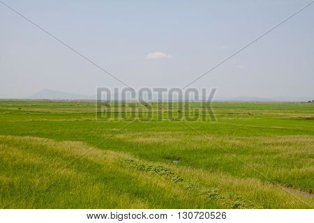 Summer lake rim have green rice field.