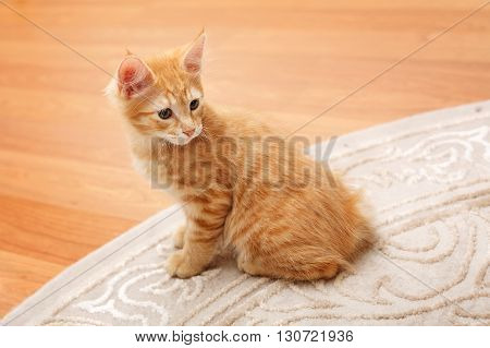 Kuril Bobtail cat ginger. Thoroughbred cat. Cute and funny kitten. Pet.