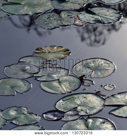 Metallic-looking waterlily pads floating on the surface of a reflective pond