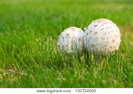 Selective focus on couple white toxic mushroom in the grass field