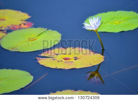 Waterlily flower and pads reflected in a still blue pond