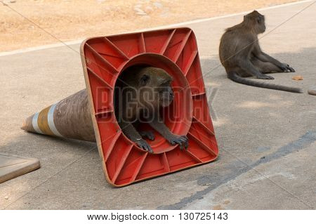 Small monkey looking curiously out of a traffic cone