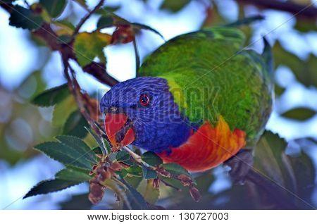 Curious colourful Australian rainbow lorikeet parrot feeding in a tree.