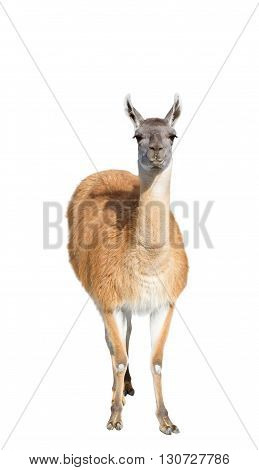 the Beautiful lama on a white background
