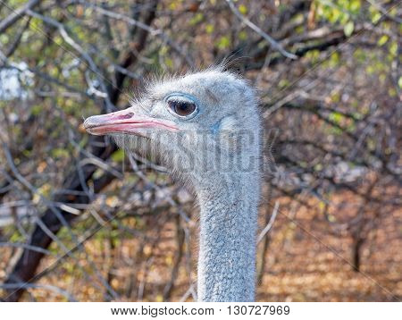 the ostrich female head in a forest