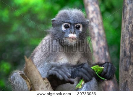 Black langur monkey eating banana on the tree