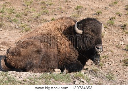 a full grown buffalo lays in it's wallow