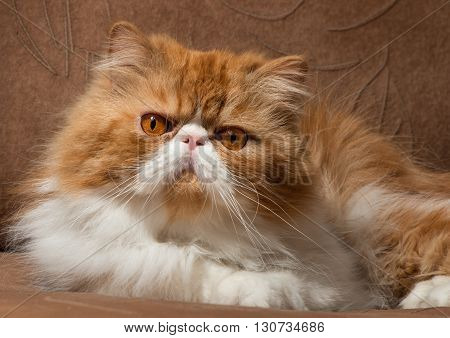 The Persian cat red with white color sits on a sofa and attentively looks