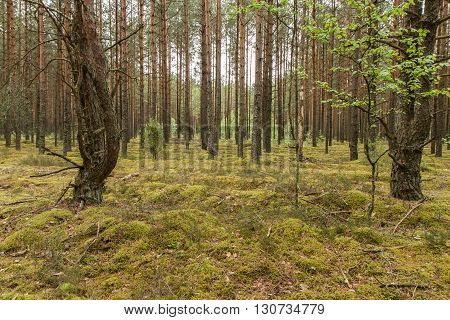 Big Forest