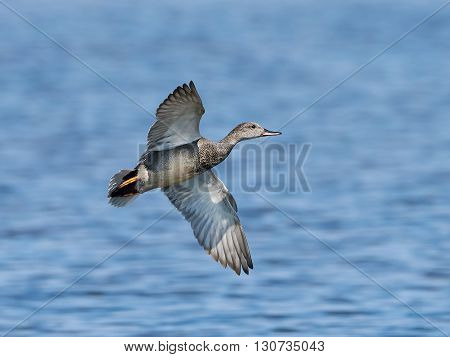 Gadwall (Anas strepera) in flight with blue water in the background