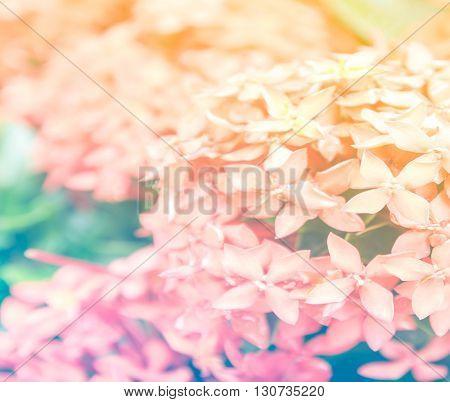 pink ixora, West Indian Jasmine (Ixora, spp.), Closeup with color filter