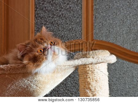 The Persian cat red with white color sits in a hammock and attentively looks