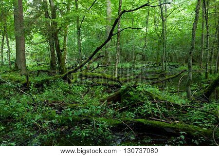 Dead broken trees moss wrapped with nettle grows over in summmertime shady stand, Bialowieza Forest, Poland, Europe