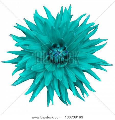 Dahlia flower isolated on a white background. Macro. Closeup. It can be used in website design and printing. Suitable for designers. Cyan.