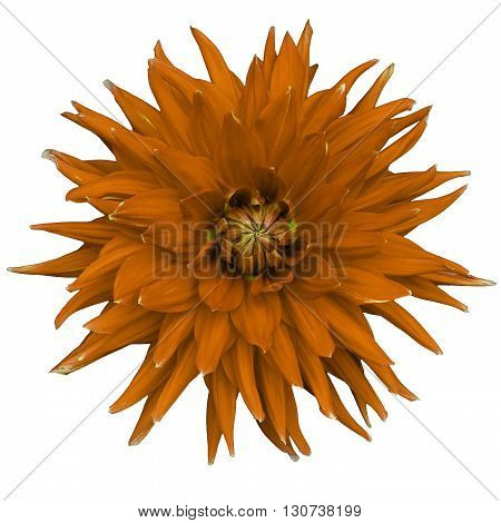 Dahlia flower isolated on a white background. Macro. Closeup. It can be used in website design and printing. Suitable for designers. Orange.