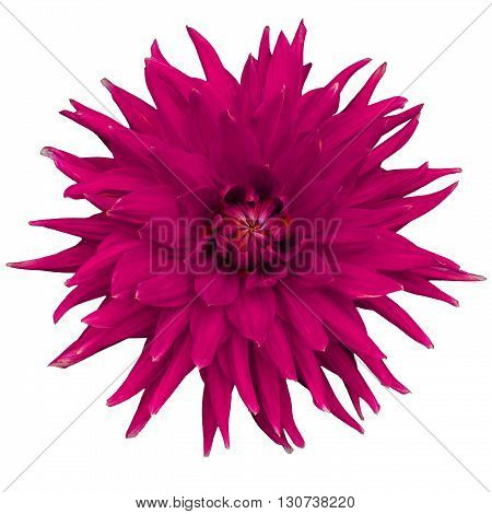 Dahlia flower isolated on a white background. Macro. Closeup. It can be used in website design and printing. Suitable for designers. Pink red.