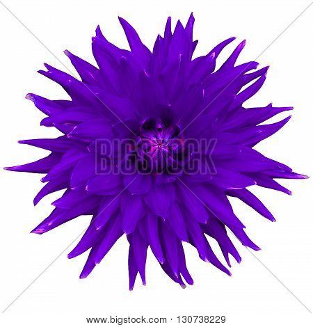 Dahlia flower isolated on a white background. Macro. Closeup. It can be used in website design and printing. Suitable for designers. Lilac pink.