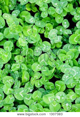 Field Of Lucky Clovers For St. Patricks Day