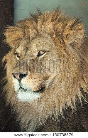 Lion (Panthera leo). Wild life animal.