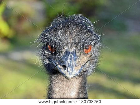Curious and angry Australian Emu looking with big orange brown eyes
