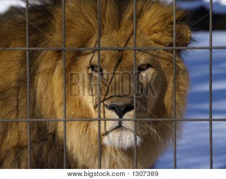 Captive Cat