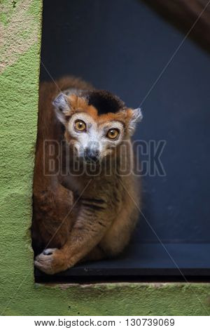 Crowned lemur (Eulemur coronatus). Wild life animal.