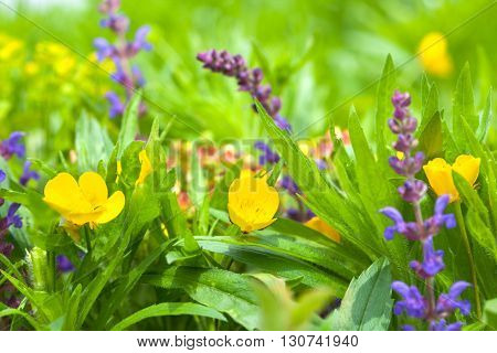 Buttercups and salvia, yellow and violet spring flower