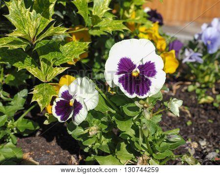 White and purple Viola aka Violet flower