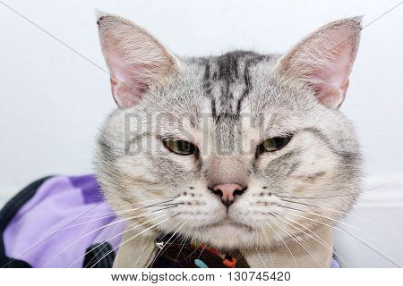 American shorthair cat is sitting and looking to the right side.