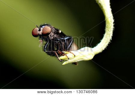 Macro photography showing a Robber Fly in close up