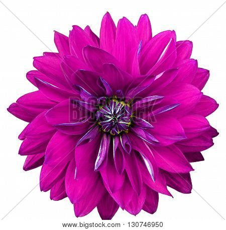 Dahlia flower white background isolated. Macro. Closeup. Pink lilac.