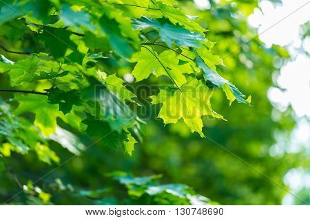 Maple Leaves Background